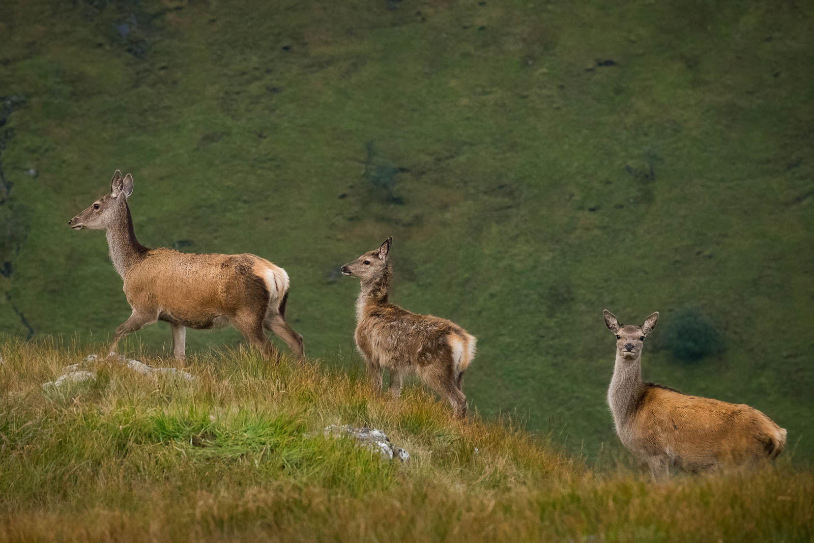 Red deer in Knoydart